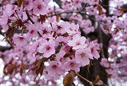 おらが街の桜